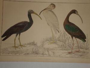 C1850 Goldsmith Cuvier Estampado Metálico Ibis Etc