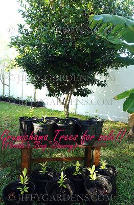 GRUMICHAMA FRUIT TREE live Eugenia Braziliensis Brazil Brazilian Cherry Tropical