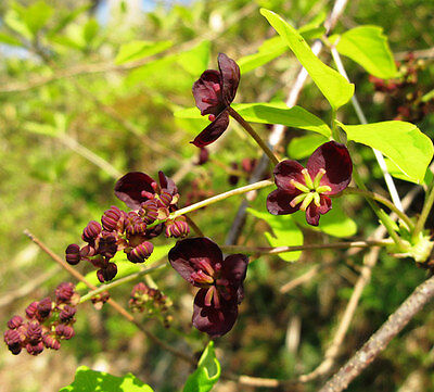 Akebia Trifoliata - 10 Seeds - Chocolate Vine or Three-Leaf Akebia