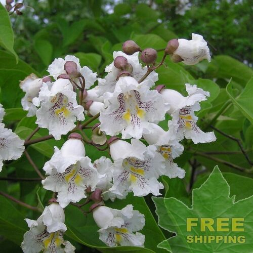 NORTHERN CATALPA Catalpa Speciosa 15 SEEDS FREE S/&H
