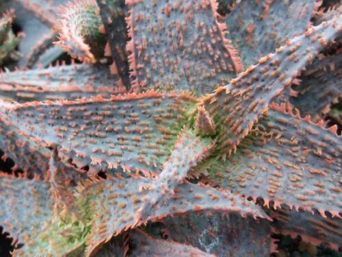 ALOE HYBRID cv ORANGE MARMALADE exotic rare succulent bonsai  seeds 10 seed