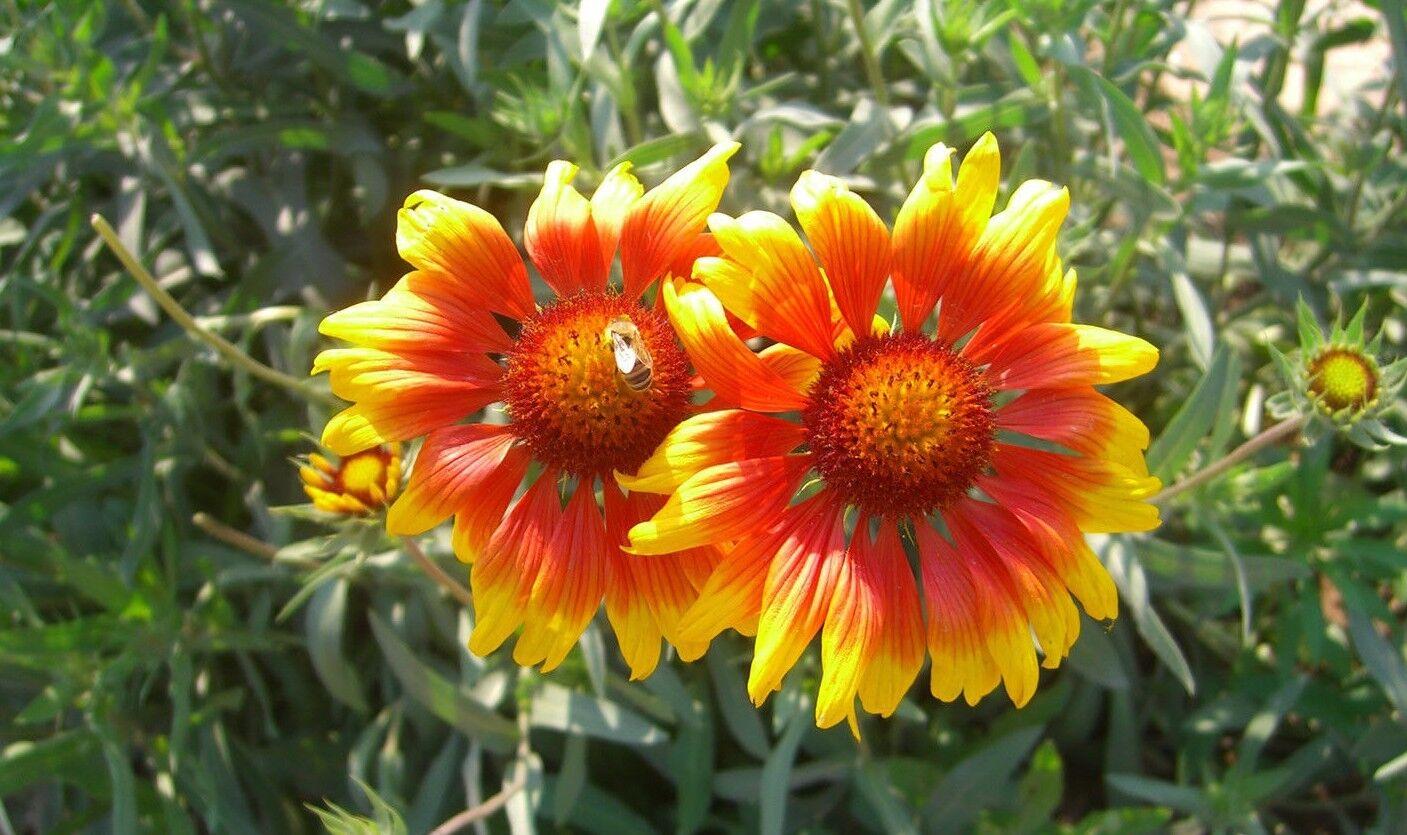 200 Blanket Flower American Native Wildflower Seeds Perennial