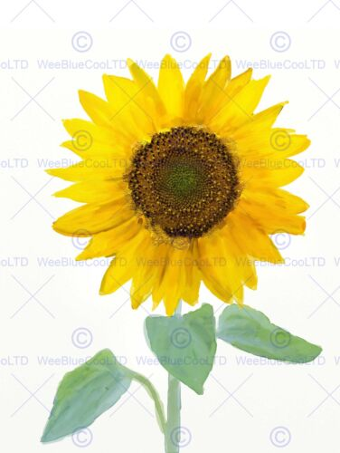 PAINTING DRAWING NATURE PLANT FLOWER SUNFLOWER ART PRINT POSTER MP3801B