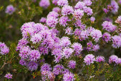 SWAMP HONEY MYRTLE SEEDS NATIVE FLOWERING SHRUB MELALEUCA SQUAMEA 250 SEED PACK