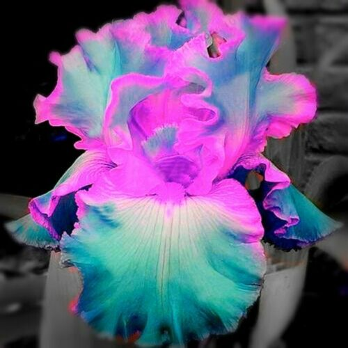 Reblooming Bearded 2 Iris Bulbs Rare Perennial Resistant Plant Courtyard Refresh