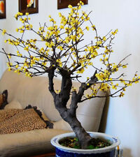 Winter sweet Chimonanthus praecox 5 seeds * Very Fragrant *Tree / bonsai* CombSH