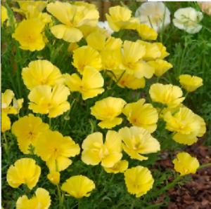 150 graines Fleur-grosses graines-pavot de californie-eschscholtzia beurre bush