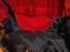 Trina-Turk-Floral-Dress-Sleeveless-Split-Neck-Sz-6-Fitted-sheath-Red-Black thumbnail 8