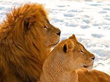 LION COUPLE SNOW PROFILE BIG CATS PHOTO ART PRINT POSTER PICTURE BMP297A