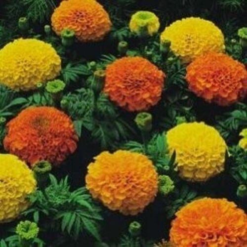 Double African Marigold CRASKERJACK 50 Flower Seeds//For beds borders 2022 SALE