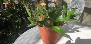 Coelogyne-spec-Naturart-groessere-Pflanze-aus-Asien-Top-viele-Bulben