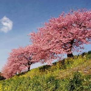 Kwanzan Flowering Cherry Tree For Sale 3 4 Ft Prunus Serrulata Kwanzan Bonsai Ebay