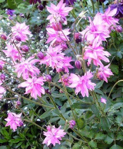 "Aquilegia Vulgaris PLENA /""Rose Barlow/"" Rose Rempli-florissante Akelei plante"