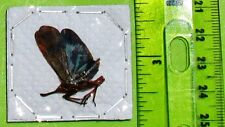 Spot winged Lanternfly Fulgorid Cicada Saiva bullata FAST SHIP FROM USA