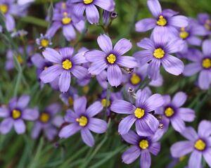 30 Yellow Blue Eyed Grass Perennial Flower Seeds