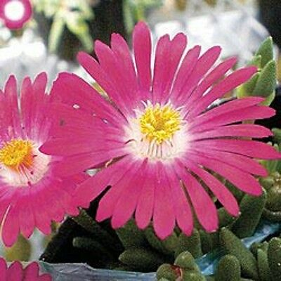 50+ DELOSPERMA CARMINE ICE PLANT FLOWER SEEDS /PERENNIAL