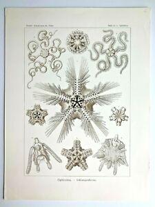 1899-Ernst-Haeckel-Kunstformen-1st-ed-Original-Antique-Plate-10-Ophiothrix
