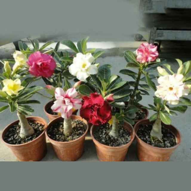 20pcs adenium obesum seeds desert rose perennial flower garden bonsai plant QC