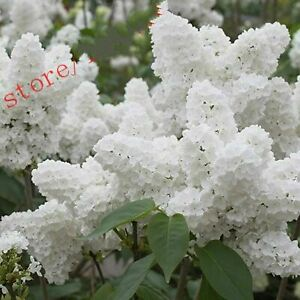 White-Japanese-Lilac-Seeds-Plants-Bonsai-extremely-Fragrant-Clove-100pcs