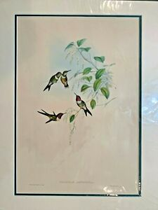 Original-Hand-Colored-Lithograph-Hummingbirds-Gould-Amethyst