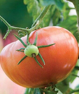 Tomato Seeds 50 - Giant Pink Italian - Heirloom
