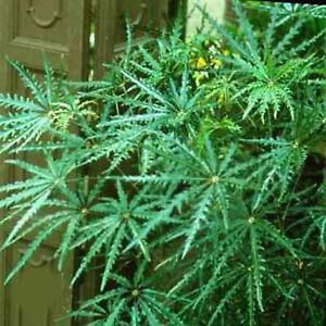 FALSE-ARALIA-SEEDS-ARALIA-ELEGANTISSIMA-SHRUB-TREE-FLOWERING-POT-20-SEED-PACK