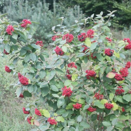 Viburnum Lantana #474 25 seeds WAYFARING TREE