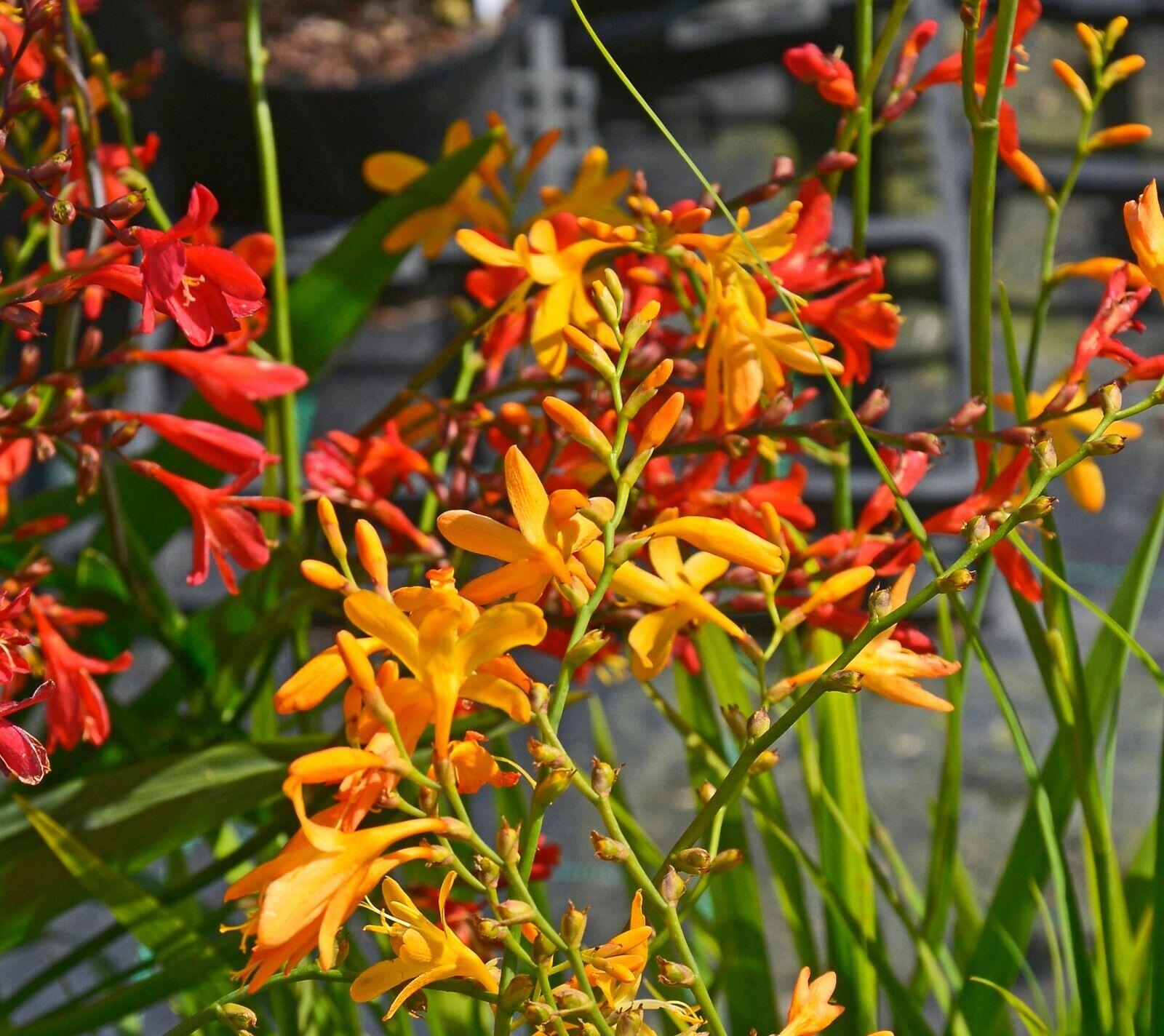 50x Crocosmia Mixed Colours Summer Flowering Bulbs Garden Perennial Flower Corms