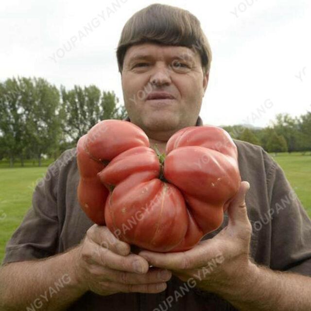 Heirloom Giant Monster Seeds Plants Tomato Bonsai Genuine Rare Fresh 200pcs