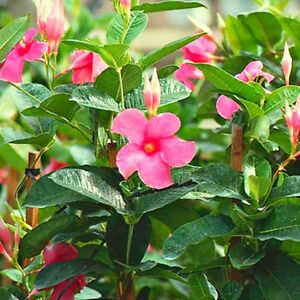 mandevilla dipladenia pink flowers mature well rooted plant ebay. Black Bedroom Furniture Sets. Home Design Ideas
