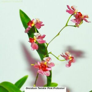 K585 Oncidium Twinkle 'Pink Profussion' Bare Root mini A278