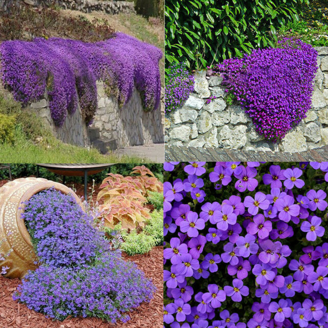 220 pcs cascade purple aubrieta flower seeds perennial ground cover 220 pcs cascade purple aubrieta flower seeds perennial ground cover romantic mightylinksfo