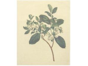 1-Orig-altkolor-Kupferstich-Curtis-1845-HEIDELBEEREN