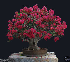 bonsai seeds - crape myrtle tree red bonsai flower tree lagerstroemia crepe