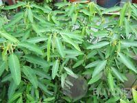 Grass - 20 Seeds Dance Weed Grass Seed Codariocalyx Motorius Lovely