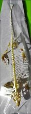 Giant Many-lined Sun Skink Mabuya multifasciata Skeleton FAST SHIP FROM USA