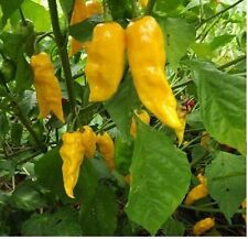 15 Yellow Ghost Pepper Bhut Jolokia seeds Chili Heirloom RARE EXTREMELY HOT!