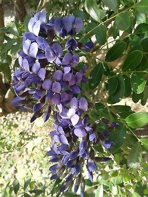 20 Texas Mountain Laurel Tree Easy To Grow Sephora Secundiflora Seeds Ebay
