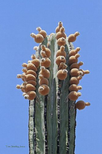 20 Seeds Pachycereus pringlei Mexican Giant Cardon Gigante Elephant Cactus Nopal