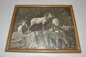 Vintage-Hileman-Glacier-Park-Big-Horn-Sheep-photo-The-Majestic-King-034