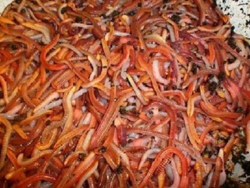 Regenwürmer Mix aus vier Wurmarten 1000 Stück Kompostwürmer