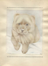 Edward Julius Detmold Vintage Print Chow-Chow-The Book of Baby Dogs 1929
