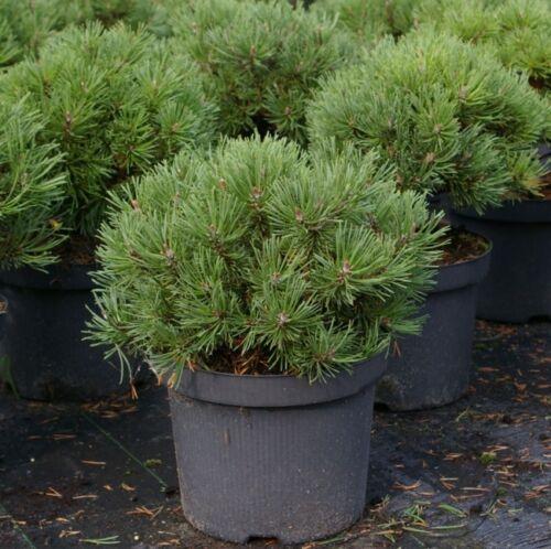 Pinus mugo Mops 20-25 sehr gute Winterhärte vieltriebig-kompakt Kugel- Kiefer