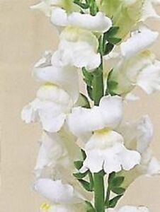 30 antirrhinum giant pure white snapdragon flower seeds long image is loading 30 antirrhinum giant pure white snapdragon flower seeds mightylinksfo