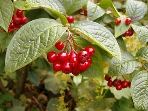 50-Franchet-039-s-Cotoneaster-2-3ft-Semi-Evergreen-Cotoneaster-Franchetii-Hedging