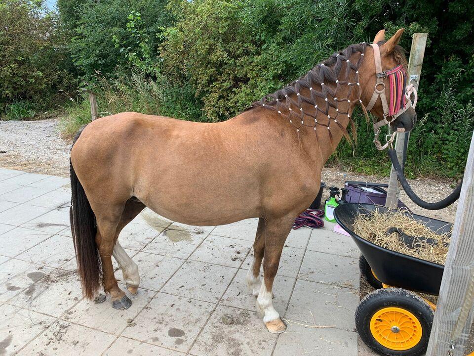 Welsh pony og Cob, hoppe, 14 år