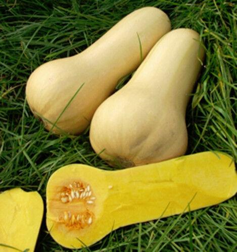 Zucca Butternut early abbattute a forma di alimentazione SEMI ZUCCA