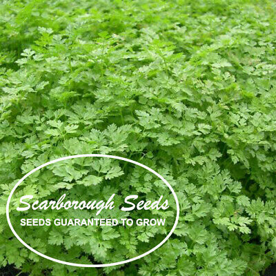 Plants Herbs 500 Seeds seeds Chervil common
