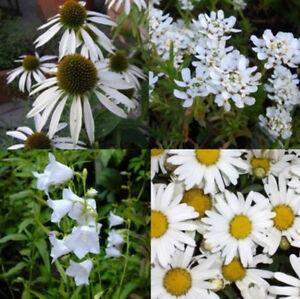14 Stk Pflanzen GARTEN IN WEISS winterharte Stauden   Dauerblüher
