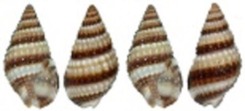 sea shell lot of 100 Nassarius Phyrrus tiny craft aquarium nautical natural /</>/<